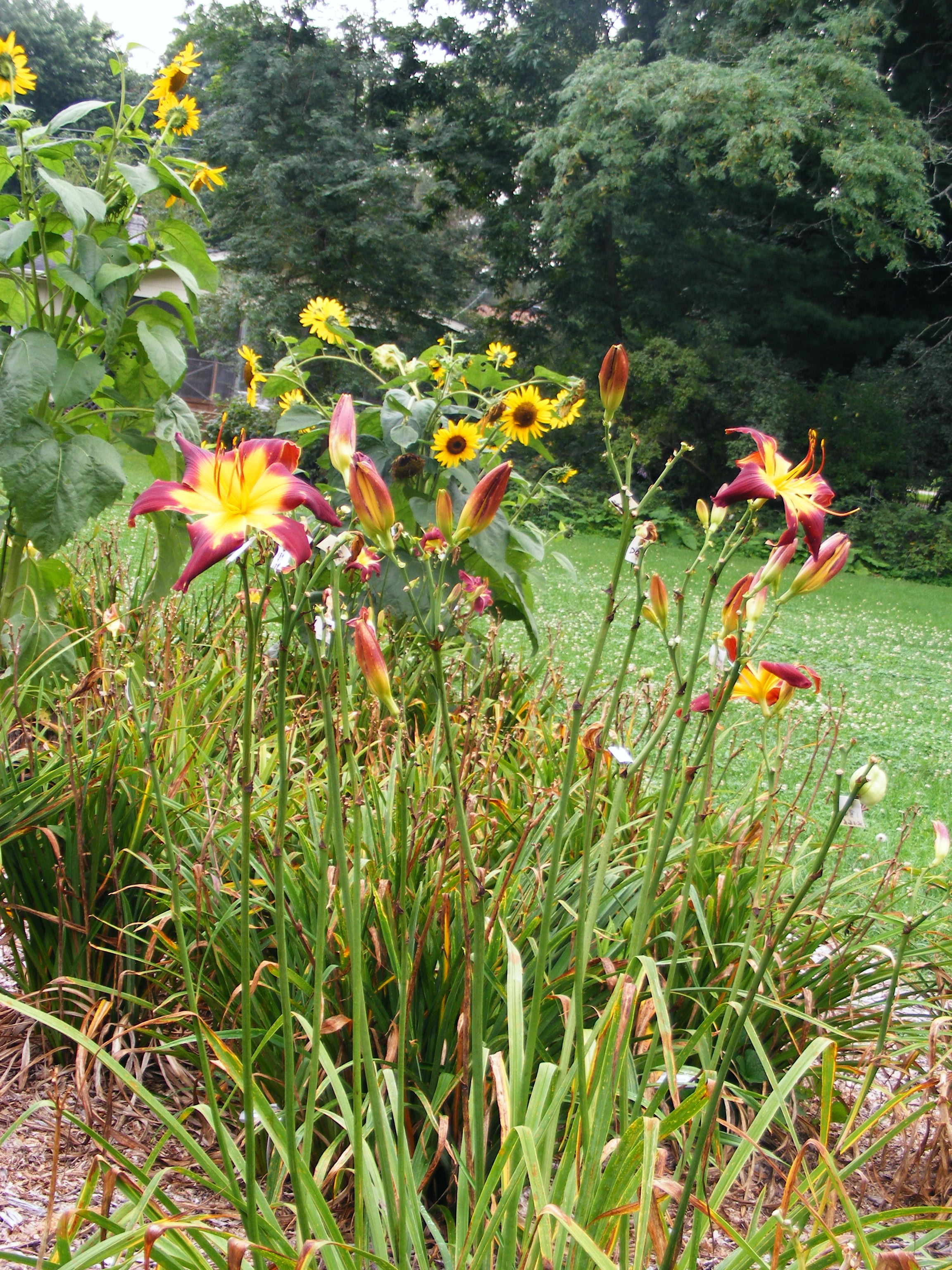 Gopher It Daylily Clump