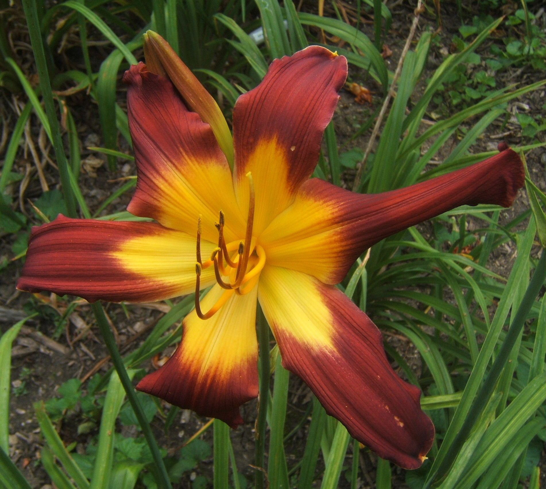 Gopher It Daylily