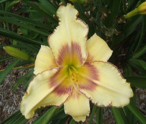 Sweet June daylily