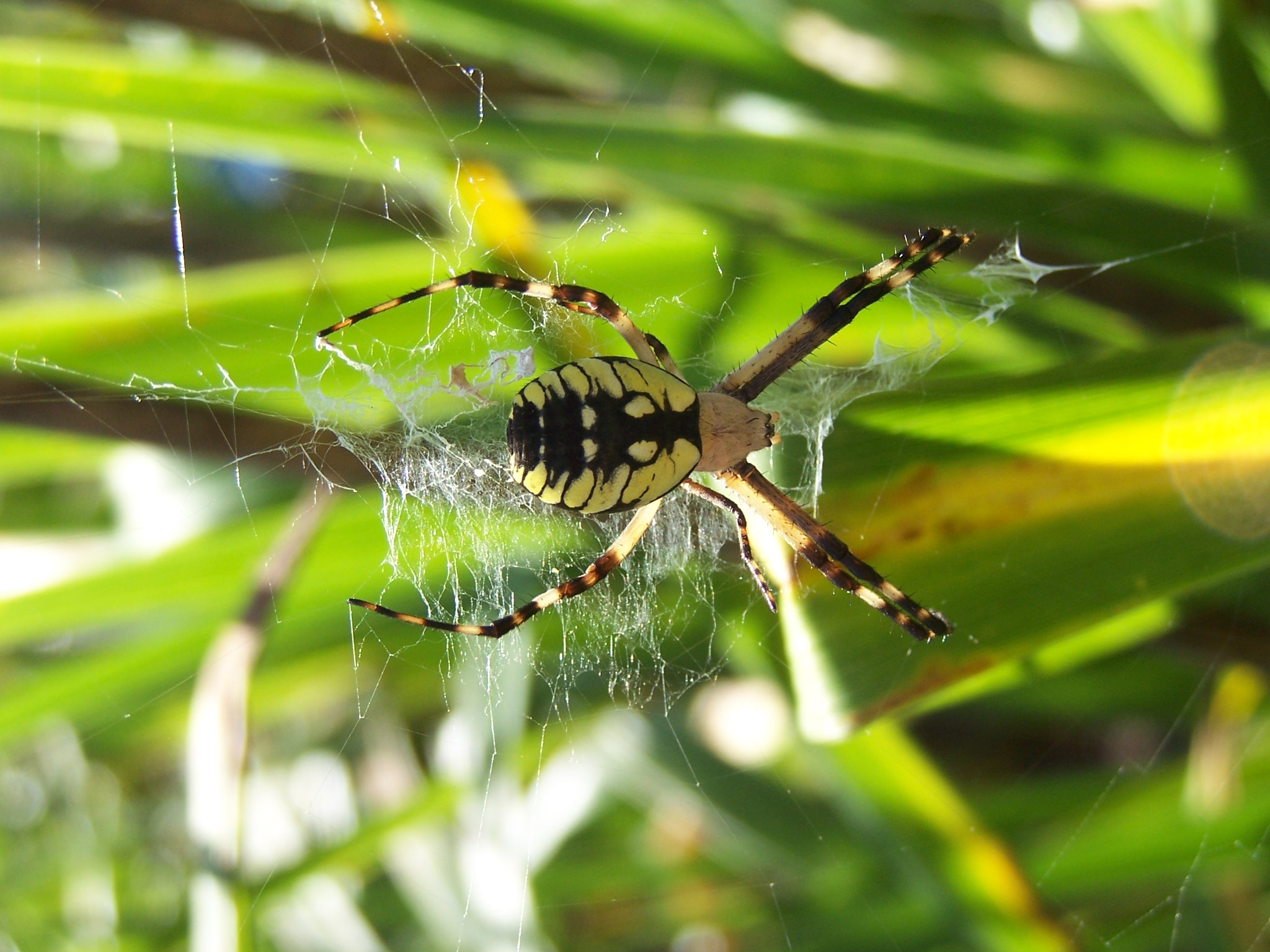 We love our garden spiders.